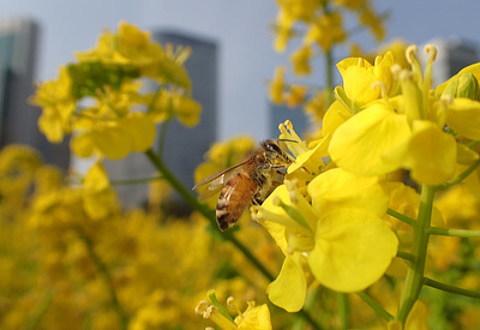 高層ビルに囲まれた都会で花の蜜を集めているミツバチ
